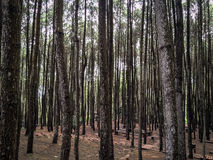 In the Middle of Pine Forest Royalty Free Stock Image