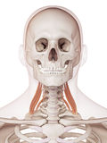 The middle scalene. Medically accurate muscle illustration of the middle scalene Royalty Free Stock Photography
