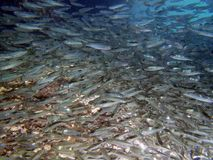 School of fishes Royalty Free Stock Image