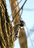 Middle-spotted woodpecker Stock Image