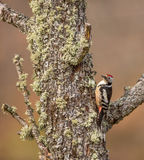 MIddle Spotted Woodpecker Stock Photos