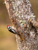 MIddle Spotted Woodpecker Stock Photo