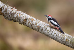 Middle Spotted Woodpecker. A Middle Spotted Woodpecker (Dendrocopos medius) moves on a horizontal branch in search of insects Stock Photography