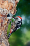 Middle spotted woodpecker feeding chick Royalty Free Stock Image