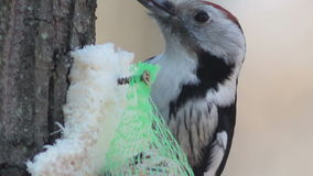 Middle spotted woodpecker feeding with seeds and bacon stock video footage