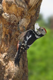 Middle spotted woodpecker with food Royalty Free Stock Photo