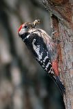 Middle spotted woodpecker Royalty Free Stock Photography
