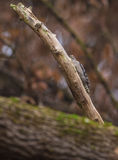 Middle-spotted Woodpecker hiding Stock Images