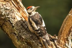 Middle Spotted Woodpecker, Leiopicus medius royalty free stock photos