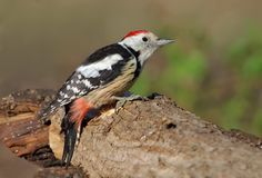 Middle spotted woodpecker perched on a big trunk stock photography