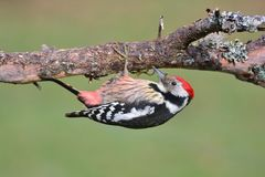 Middle spotted woodpecker perched. Royalty Free Stock Image