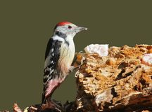 Middle spotted woodpecker rests on the tail while visiting the forest feeder. Stock Image