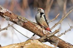 Middle spotted woodpecker sits on a thick branch with a flaky bark sun reflect in eye. Middle spotted woodpecker Dendrocoptes medius sits on a thick branch with Royalty Free Stock Photos