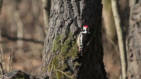 Middle spotted woodpecker in winter mountain forest stock video footage