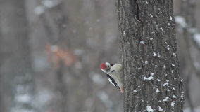 Middle spotted woodpecker in winter mountain forest stock video