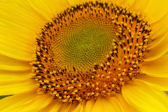 Middle of sunflower. The middle of a sunflower Stock Images