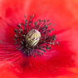 In The Middle Of Things. A close-up of the centre of a poppy royalty free stock photos