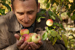 Middleaged man hold apples on hands and smell them. Autumn royalty free stock photography