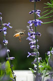Midflight de la abeja en el sabio ruso Imagenes de archivo
