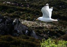 midflight seagul 免版税库存照片