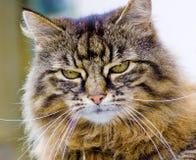 Midge 2. Pet Tabby cat in closeup Stock Photo