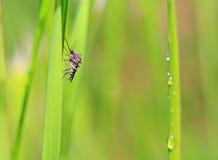 Midge. Small midge on green background stock photography