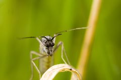 Midge. Closeup of a midge on a blade of grass Royalty Free Stock Images
