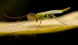 Midge på en leaf Fotografering för Bildbyråer