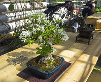 Midget crabapple - Bonsai in the style of Stock Photography
