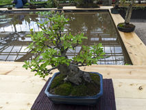 Midget crabapple - Bonsai in the style of Royalty Free Stock Photo