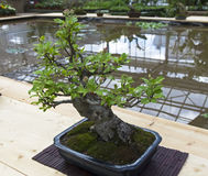 Midget crabapple - Bonsai in the style of Stock Photo