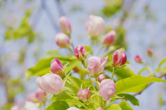 Midget crabapple flowers. A close up of midget crabapple flowers Royalty Free Stock Photos
