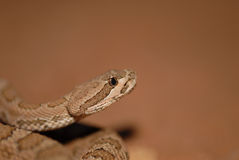 Midget Faded Rattlesnake Stock Images