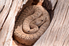 Midget Faded Rattlesnake in the wilds Royalty Free Stock Photos