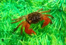 Midget mangrove crab. Lately in aquarium Royalty Free Stock Images