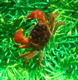Midget mangrove crab. Lately in aquarium Royalty Free Stock Photography