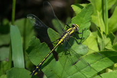 Midland Clubtail Stock Photo