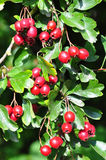 Midland hawthorn (Crataegus laevigata) Royalty Free Stock Photo