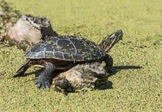 Midland Malujący żółw Obrazy Royalty Free