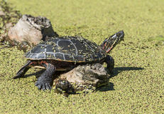 Free Midland Painted Turtle Royalty Free Stock Images - 33648039