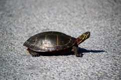 Midland Painted Turtle on asphalt background. The Midland Painted Turtle, scientific name: Chrysemys picta marginata is native to Ontario and is the only one Royalty Free Stock Images