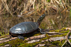Painted Turtle: Midland Subspecies. Midland Painted Turtle basking in the afternoon sun. Tiny Marsh Provincial Wildlife Area, Elmvale, Ontario, Canada Royalty Free Stock Photos