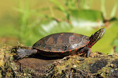 Midland Painted Turtle Basking on a Log. Midland Painted Turtle (Chrysemys picta marginata) Basking on a Log - Ausable River, Pinery Provincial Park, Ontario stock photos