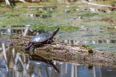 Midland Painted Turtle stock image