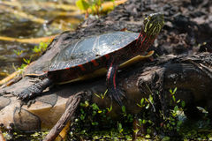 Midland Painted Turtle Stock Photos
