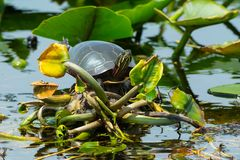 Painted Turtle: Midland Subspecies. Midland Painted Turtle basking in the sun. Point Pelee National Park, Leamington, Ontario, Canada Stock Image
