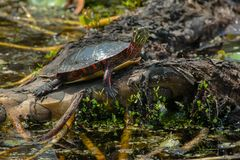Painted Turtle: Midland Subspecies. Midland Painted Turtle basking in the sun. Point Pelee National Park, Leamington, Ontario, Canada Stock Photo