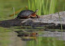Midland Painted Turtle basking on a log stock image