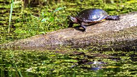Midland Painted Turtle. (Chrysemys picta marginata) Basking on a Log Surrounded by Lily Pads in Michigan stock photos