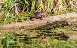 Midland Painted Turtle Stock Image